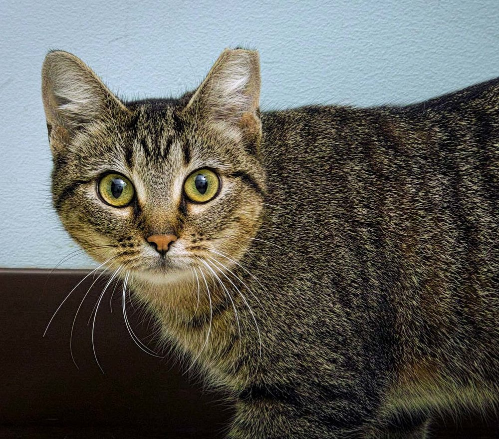 Roundy was found as a stray near a Roundys. She is a pretty active cat that likes to stare out of windows. We estimate her age at about a year of age. She is waiting for someone to take her into her furever home!