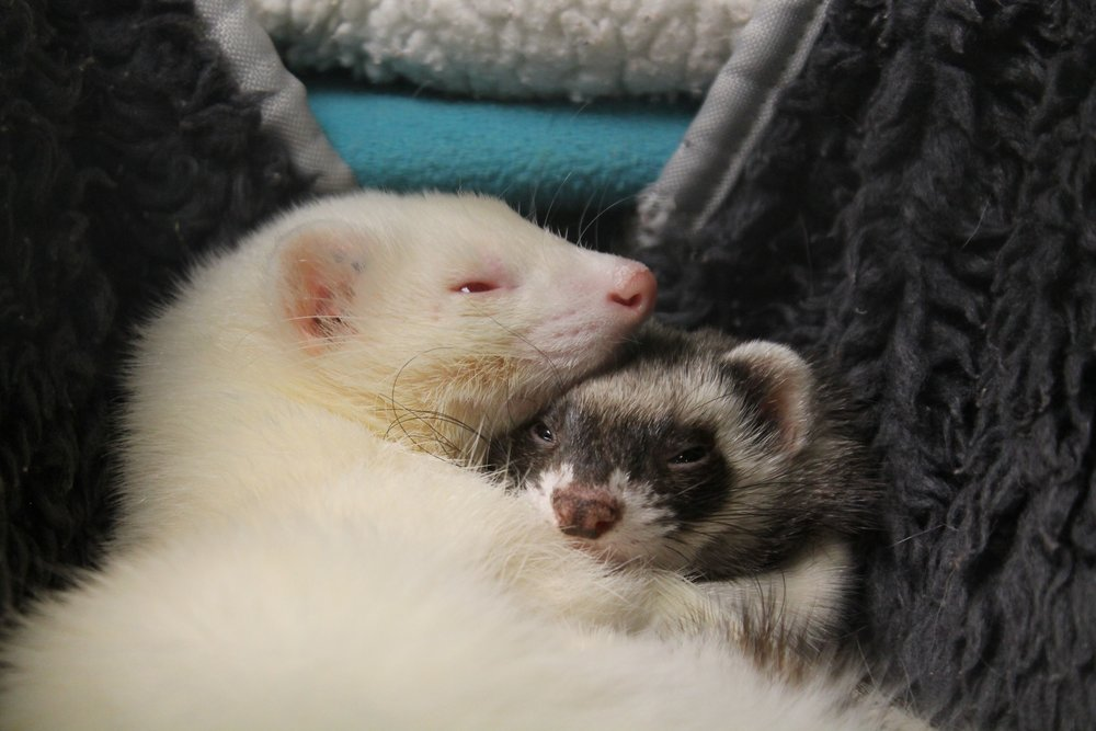 Blanco and Isabelle are young ferrets. They love to snuggle and play. Any home that wants a little more spunk should look into this pair!