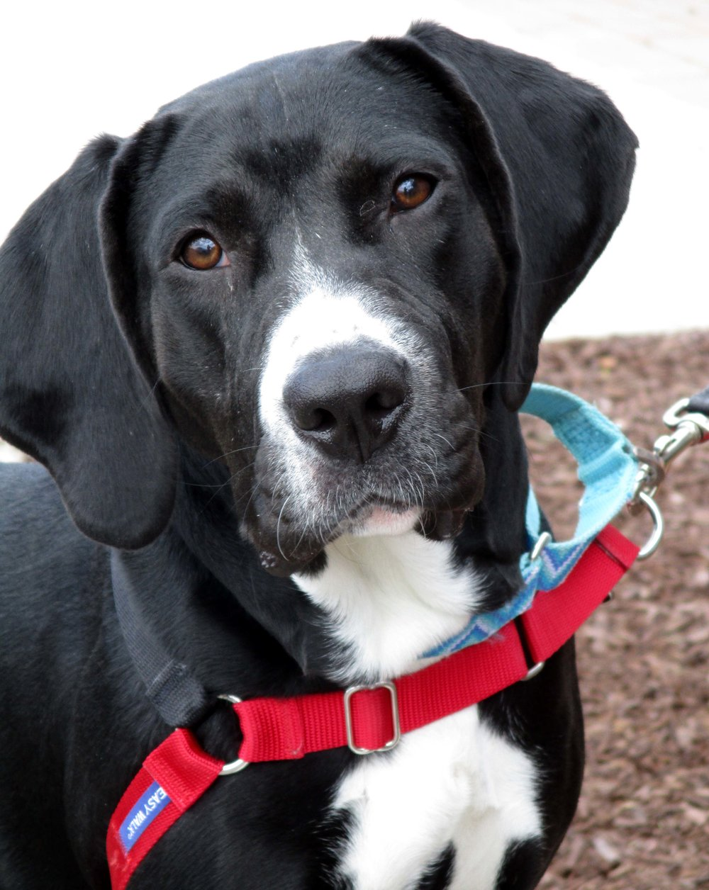 Rosie is a 2 year old Lab and Coonhound mix. She is restricted to houses with children 16 and older due to her high energy level which causes her to jump in excitement. As she gets more excited she can become mouthy. She is not good with cats, but may do okay with another dog. Rosie loves food and toys. If you want to meet her, please call in as she is in a foster home and can be viewed by appointment.
