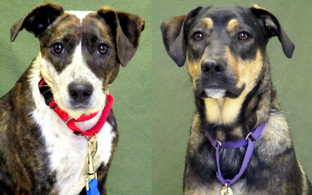 Ginger and Chief are a young bonded pair of Australian Cattle Dogs. They can be shy at first, but once they trust you they are love bugs! They would do best in a house without cats.