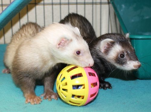 Henrietta and John Michaels are a bonded pair of ferrets looking for a home to delight. They love to play and cuddle with one another. If you are looking to smile more these two may be for you!