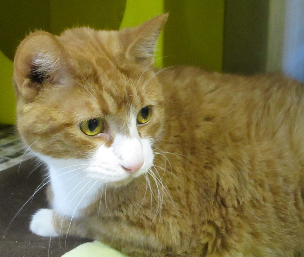 Peaches is a 6 year old cat looking for a her fur-ever home. She was found as a stray and made her way to HAWS. An owner never came looking for her so now this sweet girl is available for adoption!