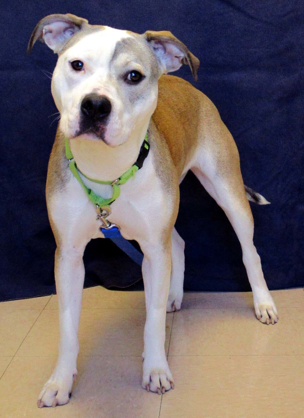 Riley is an 11 month old American Pitbull Terrier. HAWS is recommending children 10 and older due to her strength. She would do best being the only pet in the house. Riley is very sweet and likes to think she is a lap dog. When she settled down she was a heavy leaner for petting.