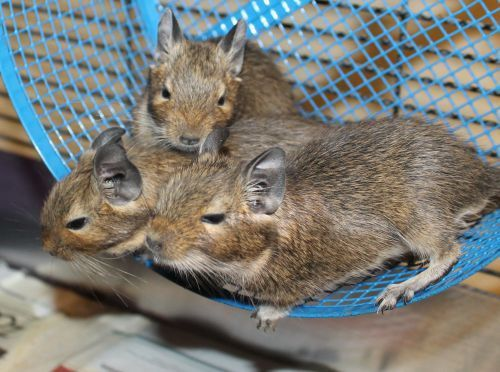 Daisy, Rosalina, & Peach are a trio of Degus. They are only about ten weeks old. Degus are very social and can be very vocal. Any house that adopts them will have a great time looking at them interact with one another and their environment.