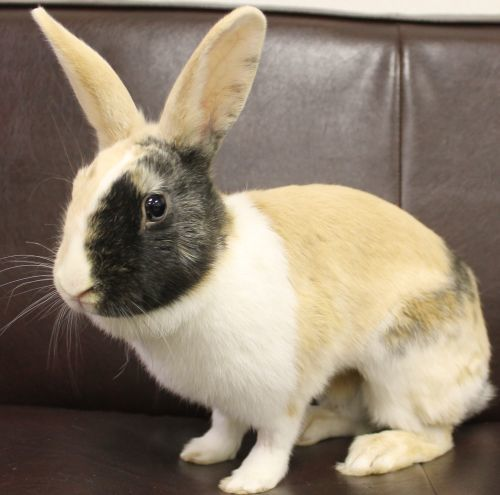 Tiffani is an adult Harlequin rabbit. She came in as a stray so HAWS does not know much of her history. Here she has been very social and loves to hop around in her pen. She enjoys to explore new spaces and objects.