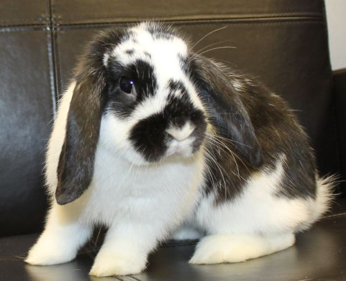 Lily is a 1 year old Holland Lop. She can be described as a diva, feisty but beautiful.