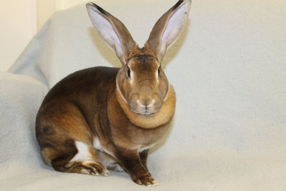 Lucy is a 1 year old Mini Rex. She needs appropriate items to chew. Lucy enjoys company if people go slow with her and allow themselves to become familiar.