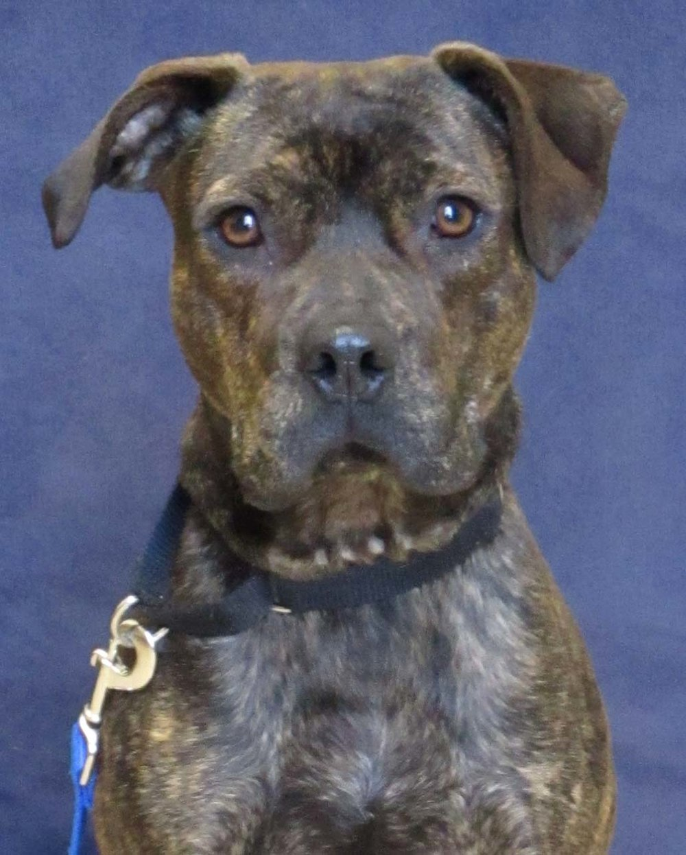 Ned is a young 4-year-old Plotthound and Pitbull Mix. He needs a home with older teens because he is unsure of small children. A home that would have the time and energy to play with him would be ideal. He loves to be out wandering the town, or staying in while playing with toys.