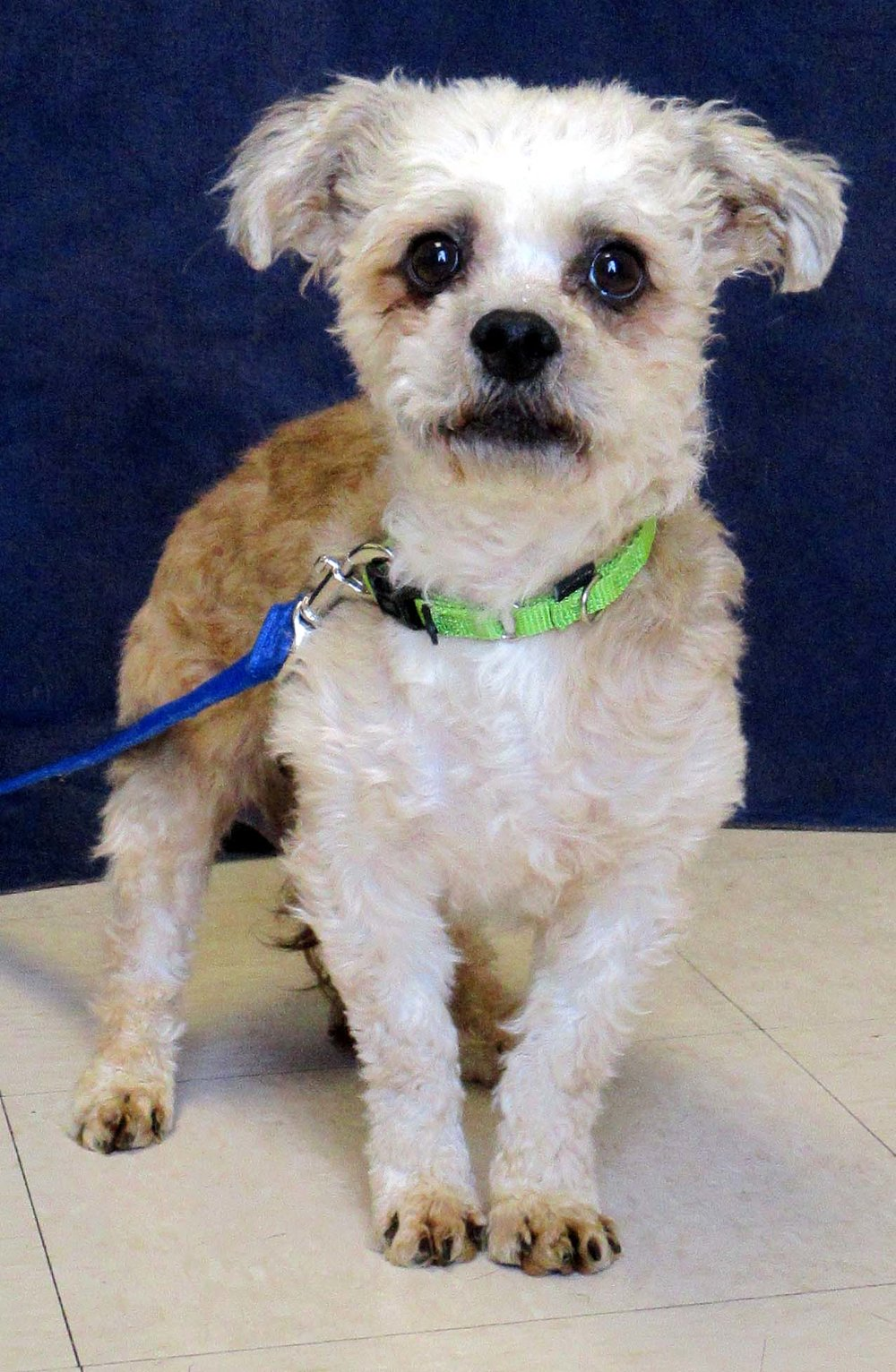 Santa is a 10-year-old Poodle Mix. He is looking for a calm home where he can sleep and cuddle. He becomes comfortable around new people and places initially--he is also very calm and easy going.