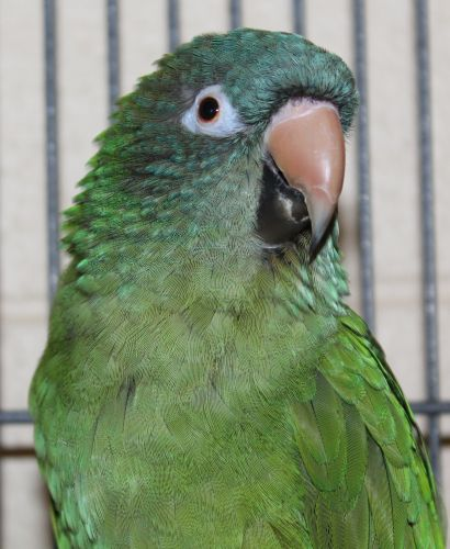 Bluey is a 30-35-year-old Conure. He came in because his previous family no longer had the time to care for him. He has done well with cats and dogs.