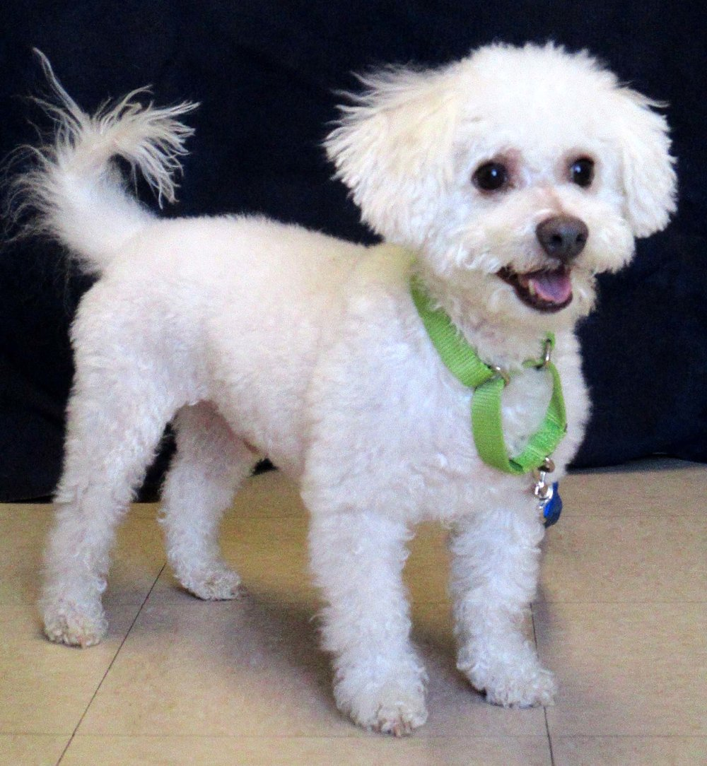 McCurdy is an almost 11 year old Lhasa Apso. He would do well with children of any age and other pets. McCurdy does like labeling things belonging to him. HAWS's trainers will work with the adoptive family to manage this in the new house.