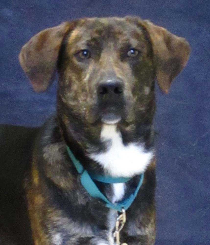 Martin is a 2 year old Plott Hound mix. We are recommending children 6 and older because when you pet him he gives love nibbles. He enjoys being around people and being outside using his hound senses.