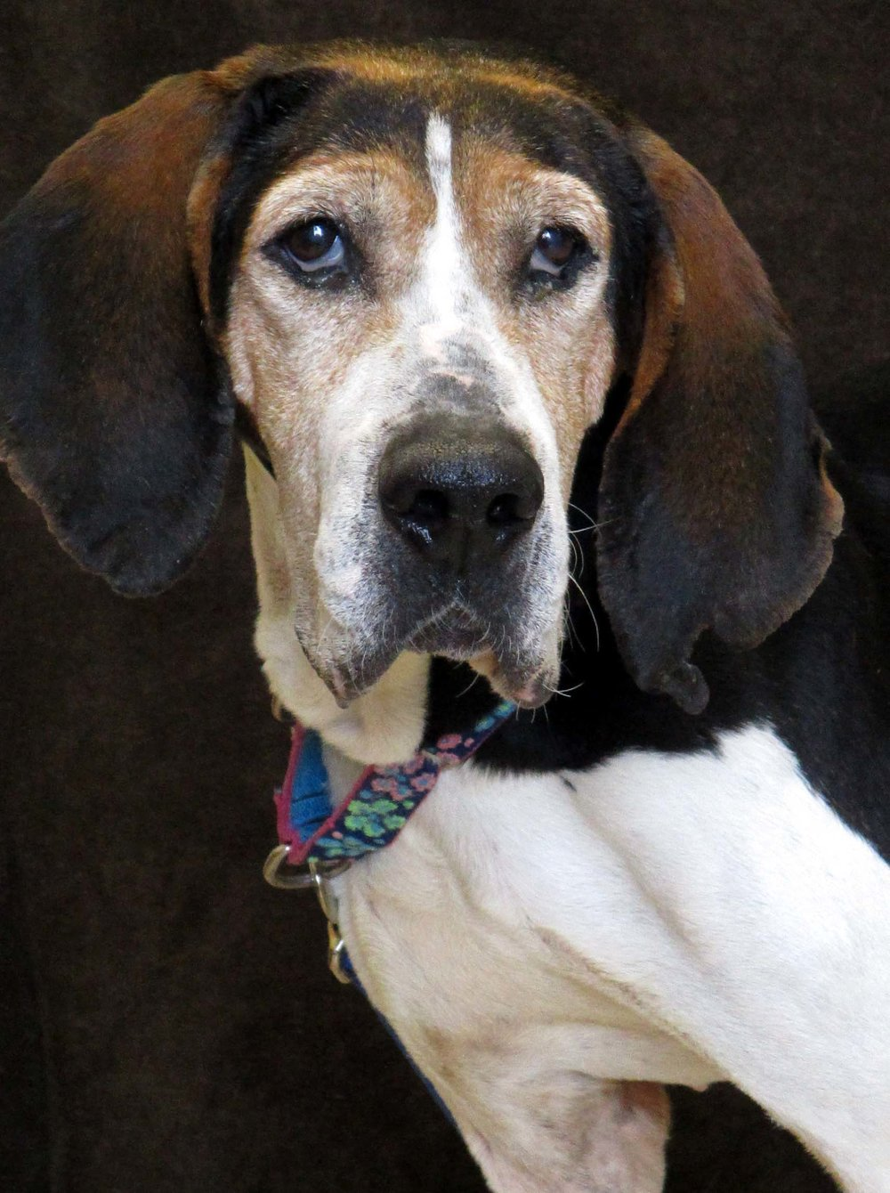 Gin is a 3 year old Coonhound. HAWS is recommending children 6 and older due to her intensity with food. She would not do well with a cat, but has gotten along with dogs here. If you want a dog that will serenade you with baying Gin is the dog for you!