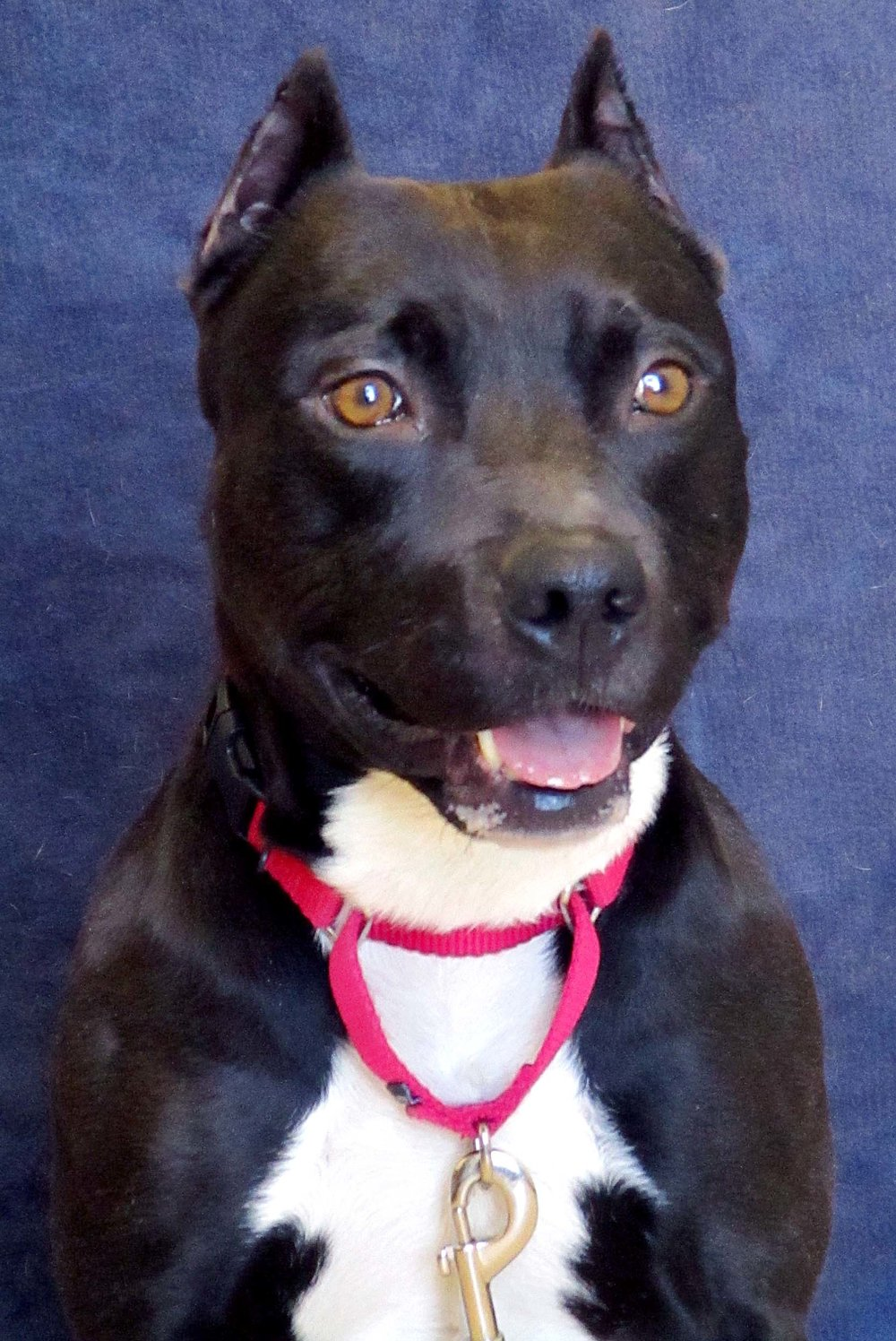 Morty is a 2 year old Pit Bull Terrier. HAWS is recommending households with children 10 and older. He would do best being the only pet and hogging all the attention in the home. He is very athletic and will lean into petting.