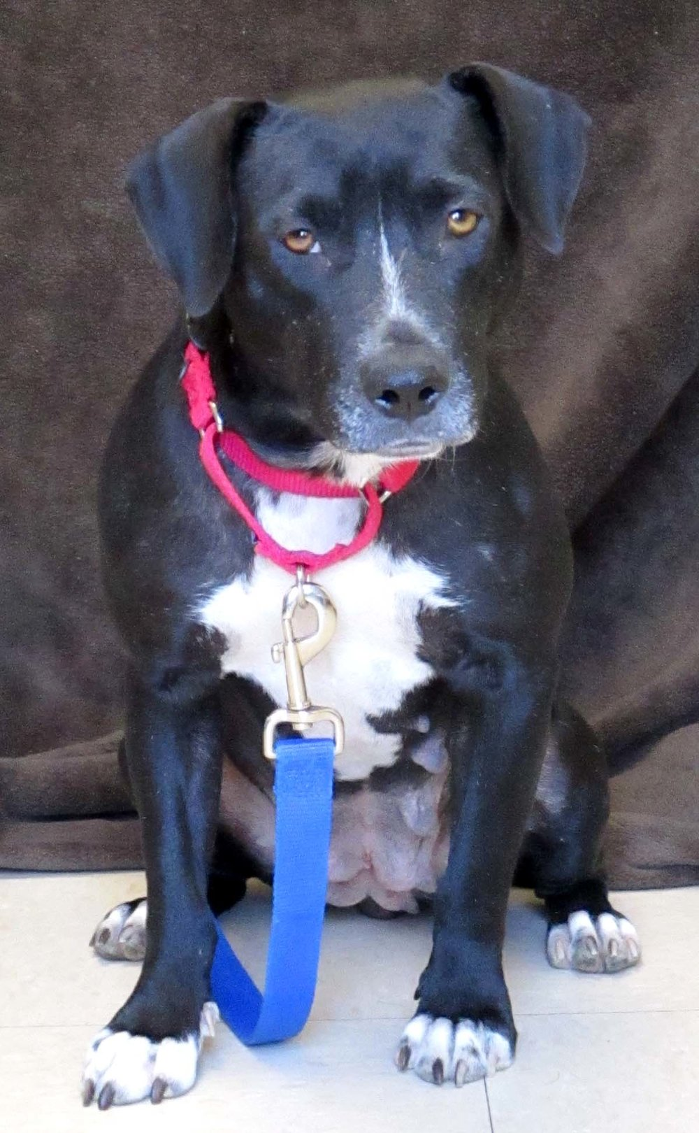 "Kenna is a 2 year Labrador mix. She came to us from Oklahoma. Kenna is a very social girl. She has been looking longingly for her ""furever"" home. She was a great mom to her puppies which are now re-homed, and it is her turn to find a great home. Rihanna says you need an umbrella--HAWS says you need to come adopt Kenna, enna, enna! :)"