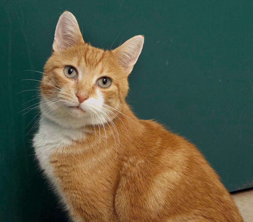 Eli is a 10 year old Domestic Short Hair. At HAWS, he has been an active, talkative, and social cat. If you're looking for a mature but extremely friendly guy--he is the one!