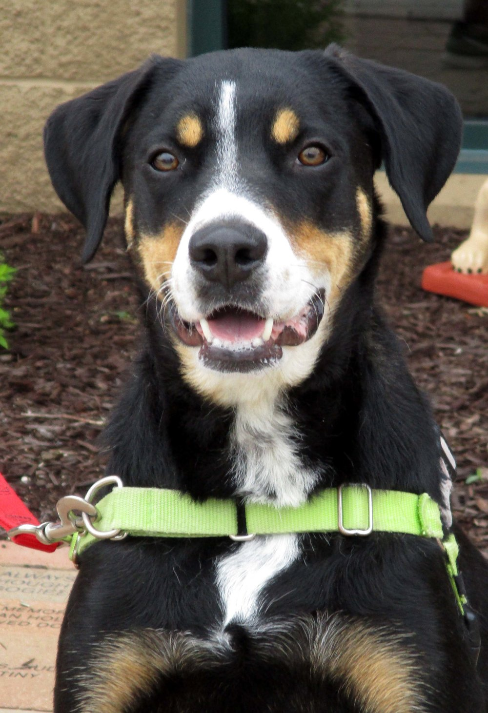 Judge is almost 2 years old and he is a Great Swiss Mountain Dog Mix. He would do best being the only pet in the home. Judge is very sweet and enjoys playing!