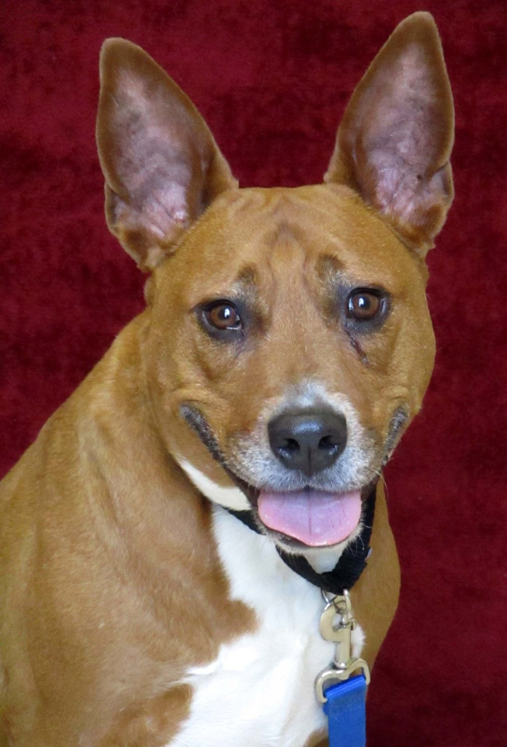Zoey is a 5 year old Pitbull Terrier Mix. She is a cuddle bug after you earn her trust.  HAWS staff will tell you, she has the best kisses in the kennel. She likes to go on slow walks in the park, but will also lounge all day.