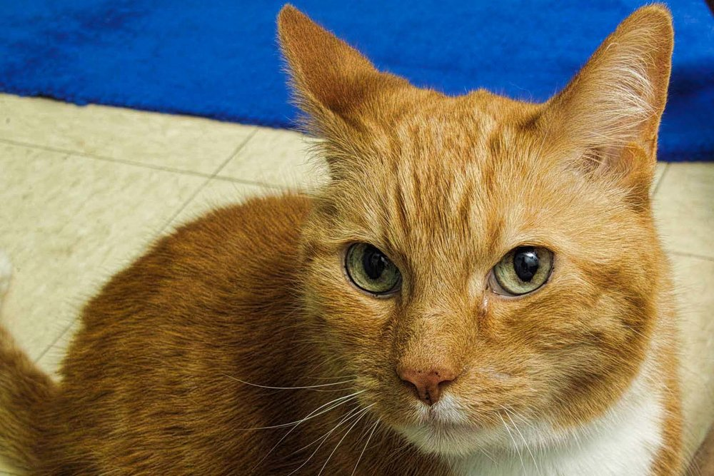 Baxter is a 12-year-old cat. He has previously lived with a cat and a dog. Being older he has a mellow personality and he would like a calm house where he could take constant cat naps.