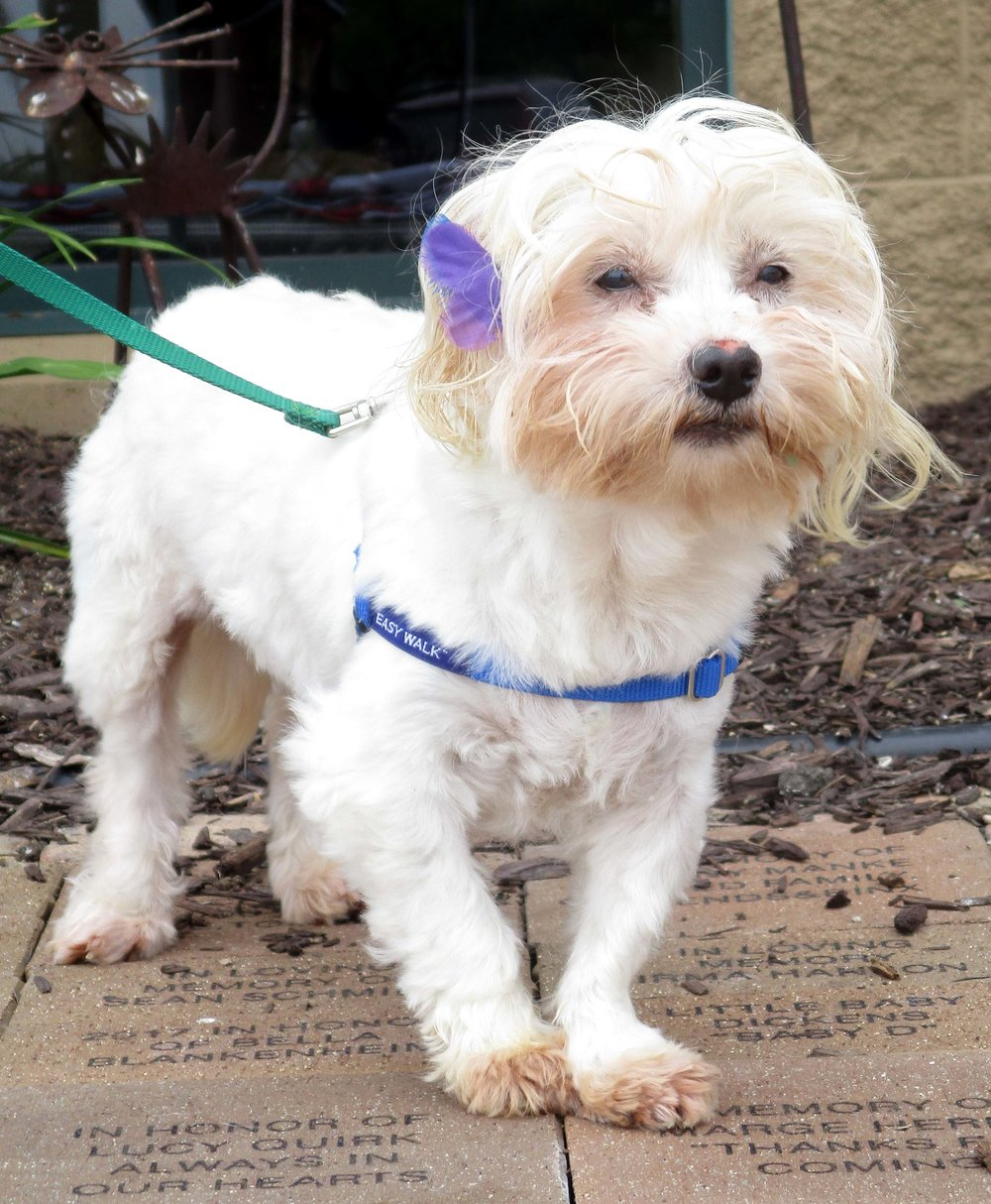 "Fiona is an 8 year old Lhasa Apso! She is skittish of new people. As you can tell from the photo, her adoptive home will never lack ""style"" as she is a total diva."
