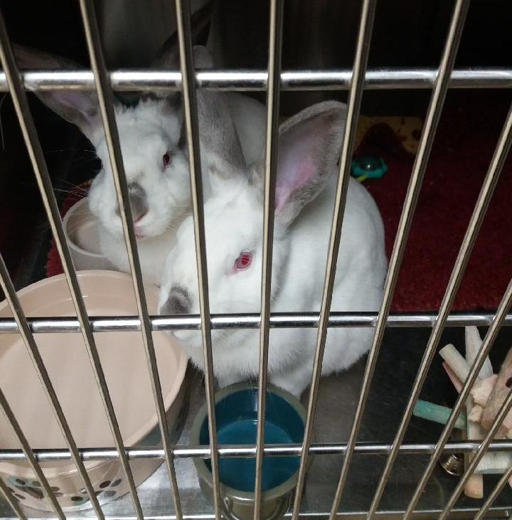 Scarlett and Ruby are a pair of 5 month old rabbits available for adoption. They love to cuddle with one another and run around an open room. Our small animal nook is overflowing so if you are looking for a small animal friend now is the time to come look!