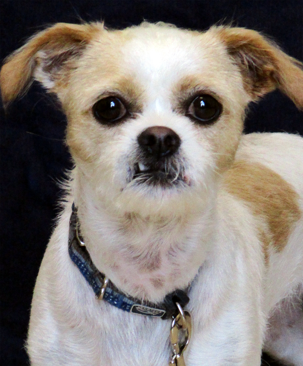 Chico is a 2 year old Shih Tzu and Chihuahua mix. His confidence is not high so a family that can take time and be calm while he comes out of his shell would be ideal. This little dog has a big personality.