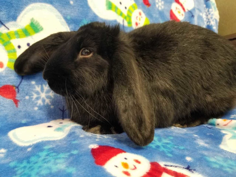 Skittles is as sweet as her name! She is super affectionate and just looking for some-bunny to love.  This American mix rabbit is five months old. She has elegant black fur and ears that haven't quite decided if they'll stand up or lay down. She is a curious gal who loves to cuddle. Wouldn't you love a snuggle-bunny for the holidays?