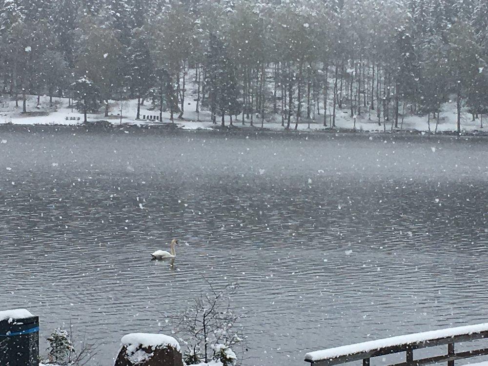 En ensom svane gjør ingen sommer - Sognsvann 11. mai...