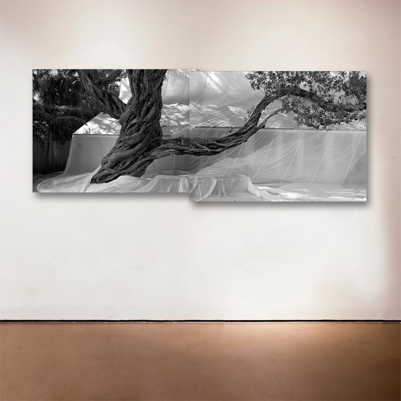 Buttonwood Trees Diptych , 2016 Medium: Sublimation on Aluminum Dimensions: 23 x 60 inches (23 x 30 inches each) Edition of 9 + 2 Artist Proofs