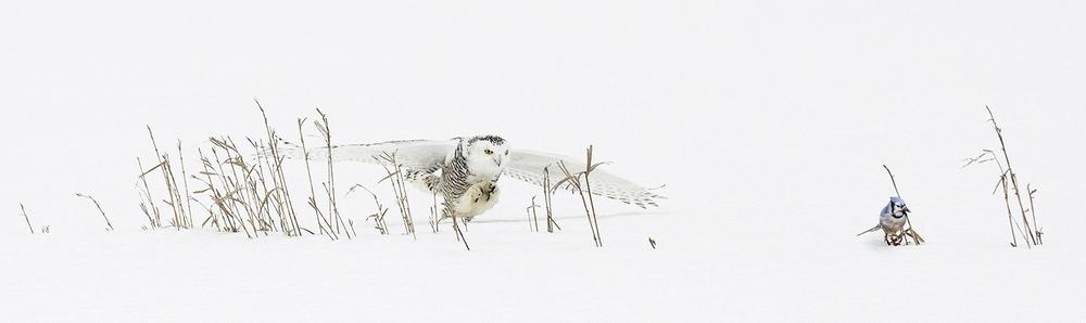 Snowy Owl Attacking a Blue Jay.jpg