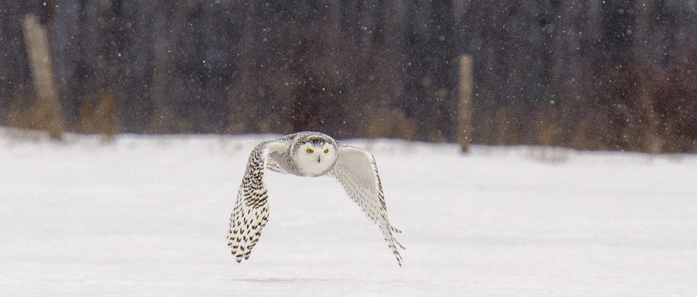 snowy owl with falling snow 3.jpg