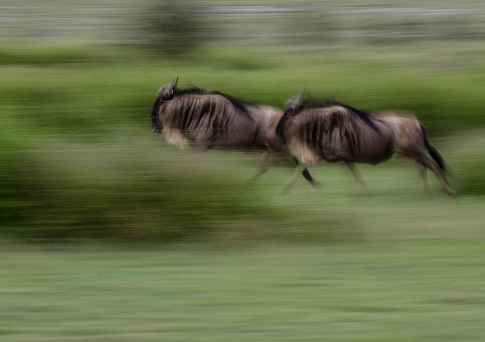 running wildebeest.jpg