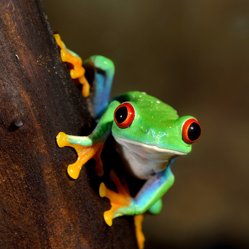 Species Spotlight - Red Eyed Tree Frog — North of 49 Photography