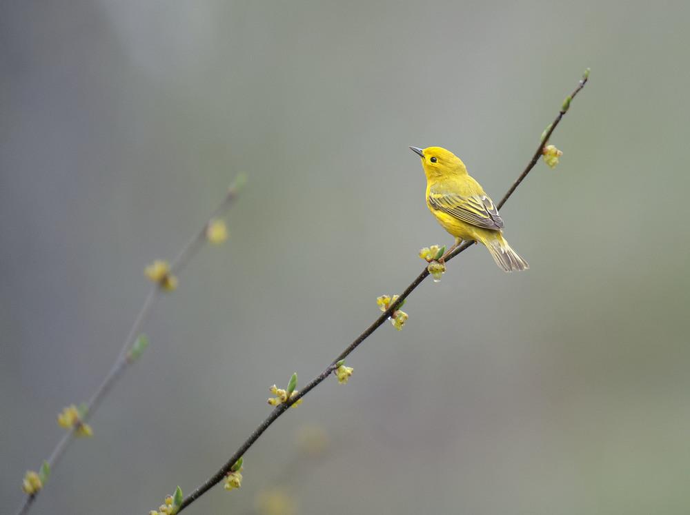 yellow warbler migration.jpg