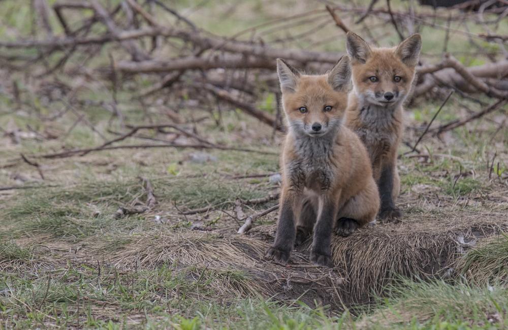 two red fox kits.jpg