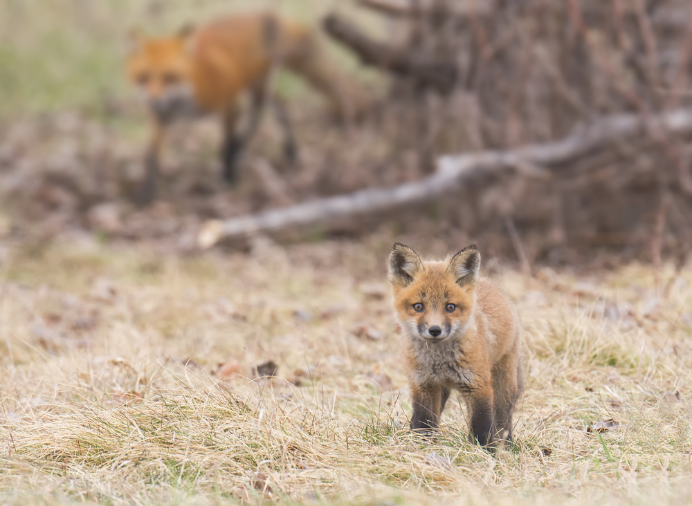 fox kit_barrie_2015.jpg