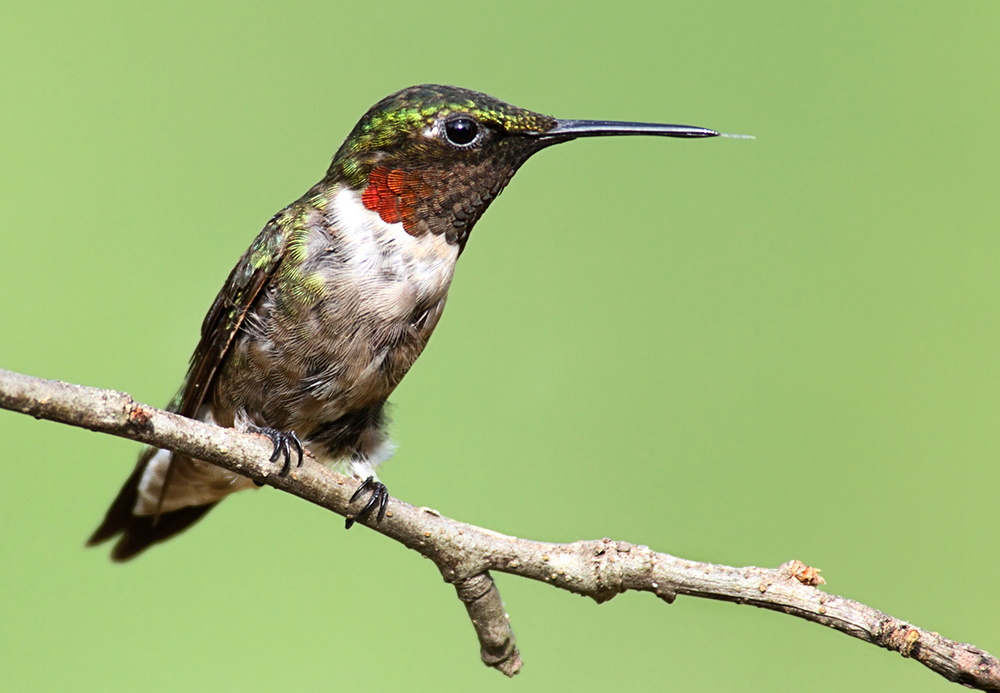 ruby throated hummingbird.jpg