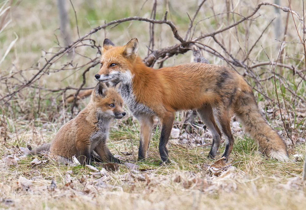 mother fox and kit_Barrie_2015.jpg