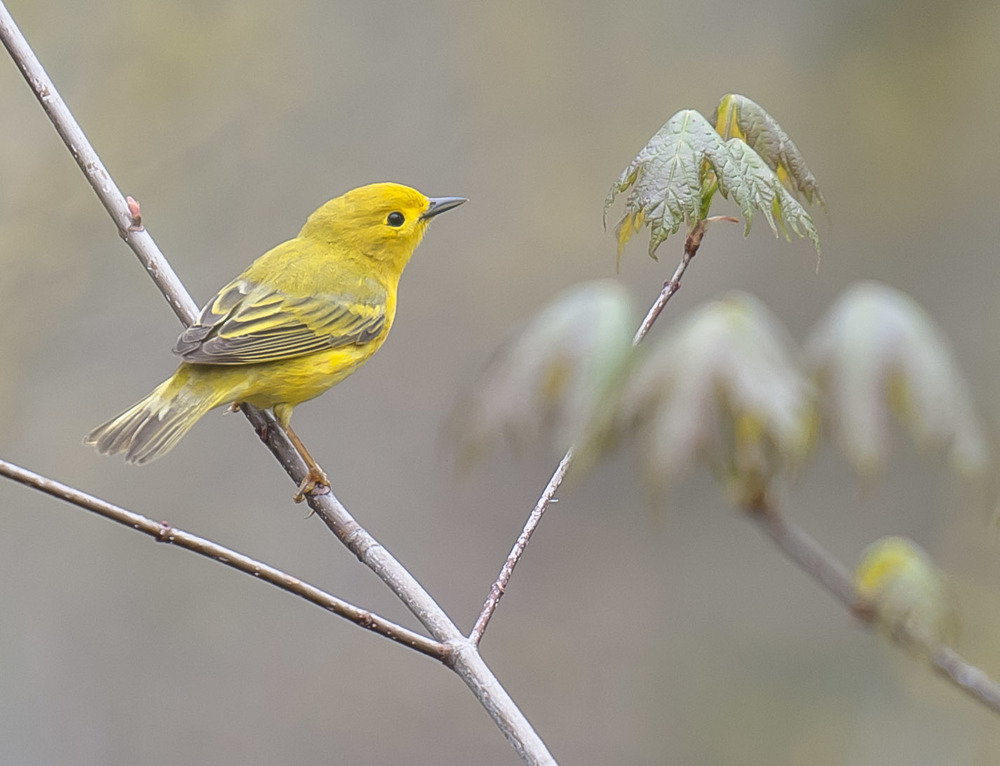 yellow warbler migration2.jpg