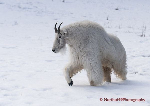 mountain goat in yukon - Copy.jpg