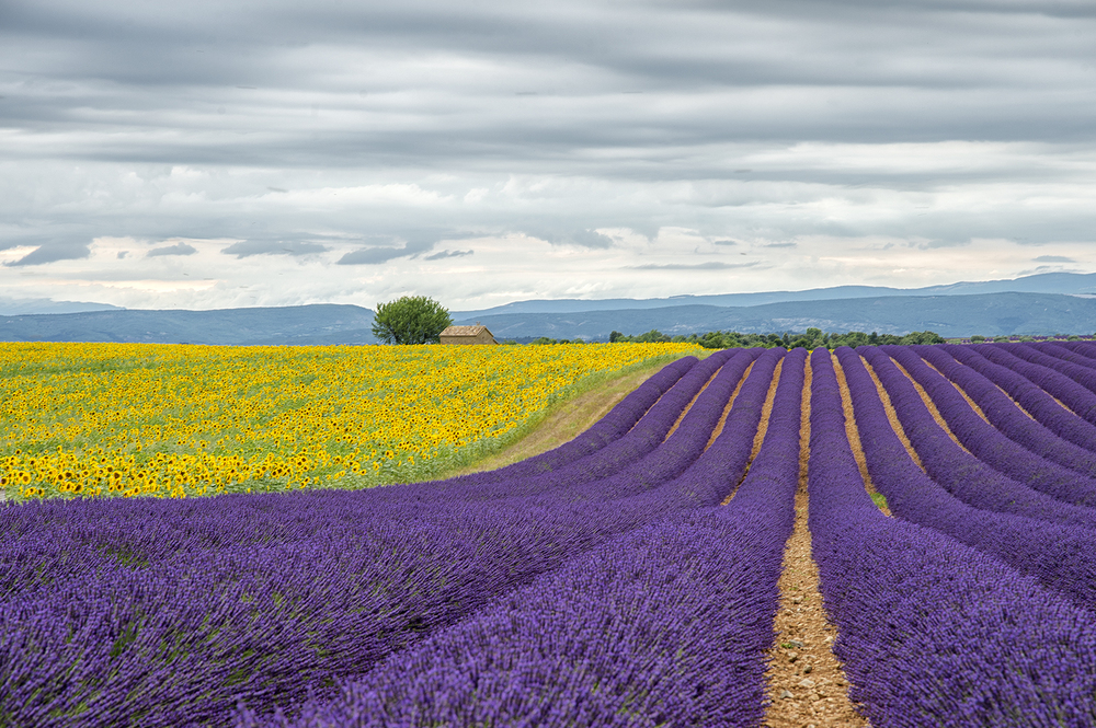 This photo was taken in Valensole, France with the Sigma 24-105 f4 lens on a cloudy but bright afternoon in the South of France. I metered off the white clouds in the sky and then moved the camera back down to focus 1/3rd of the way up from the bottom of the image.