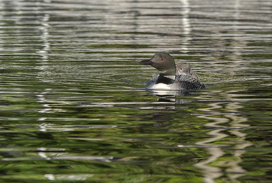 mom and baby loon.jpg