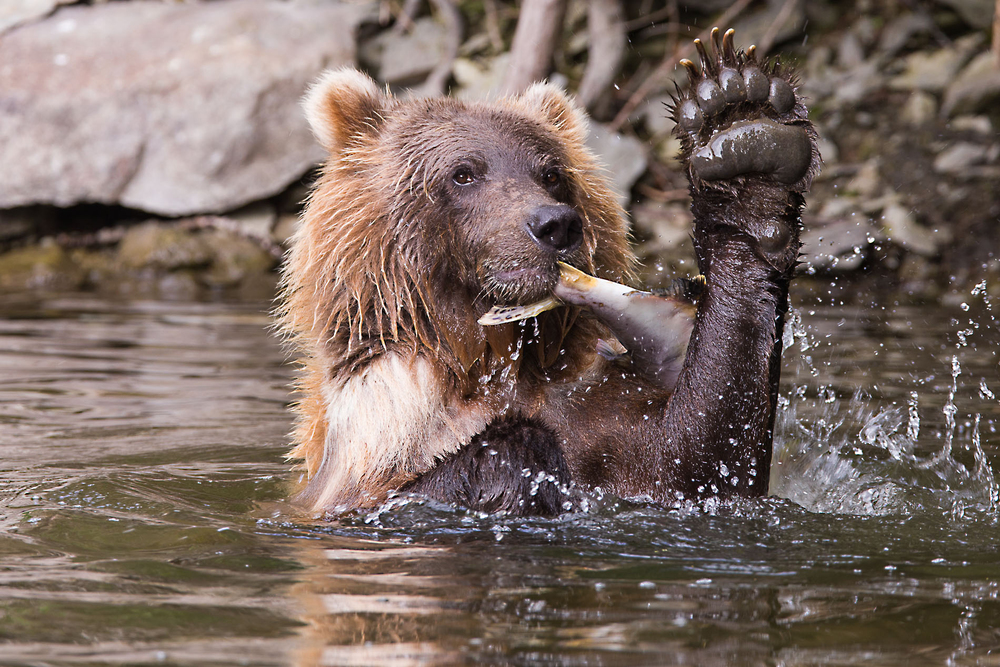 A grizzly feeding on a salmon right near one of our viewing platforms