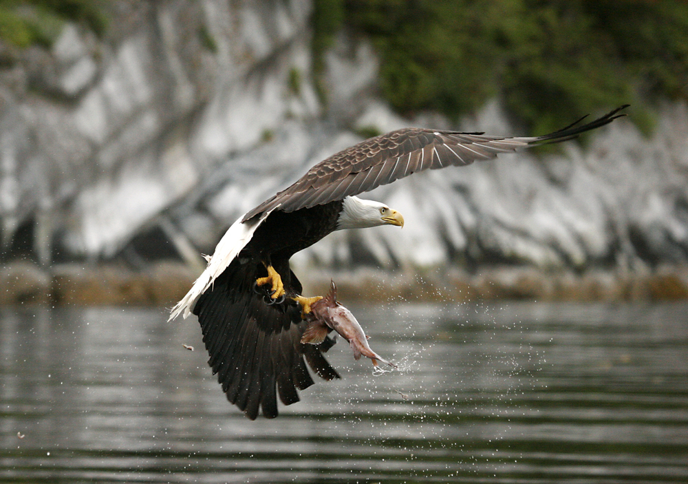 eagle salmon catch Doug Neasloss.jpg