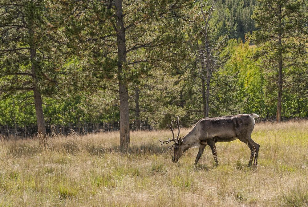 caribou in the yukon.jpg