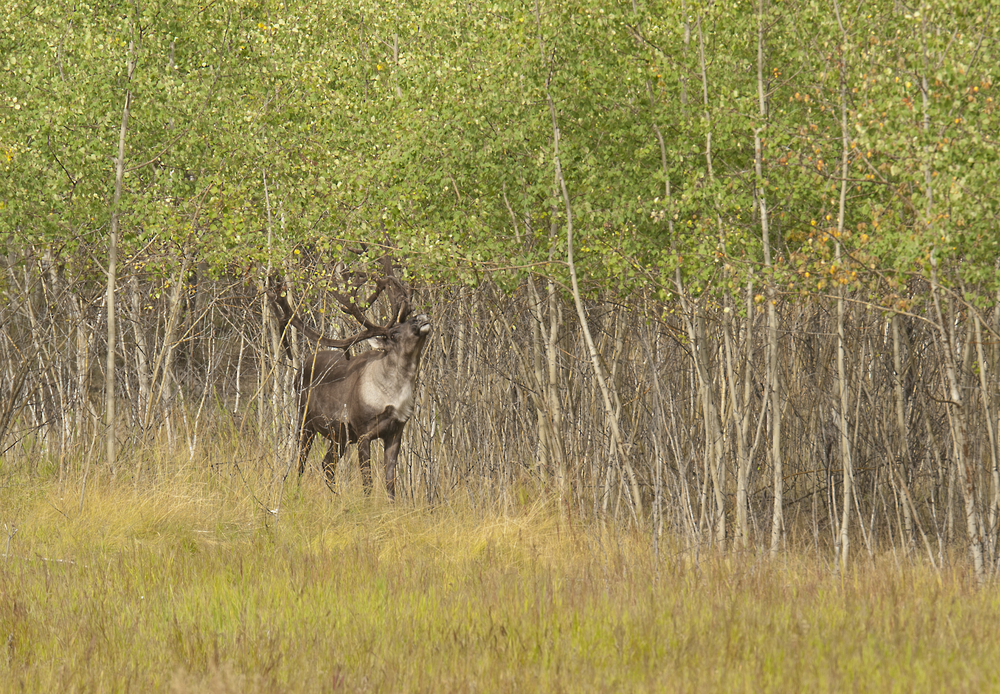 caribou in yukon.jpg