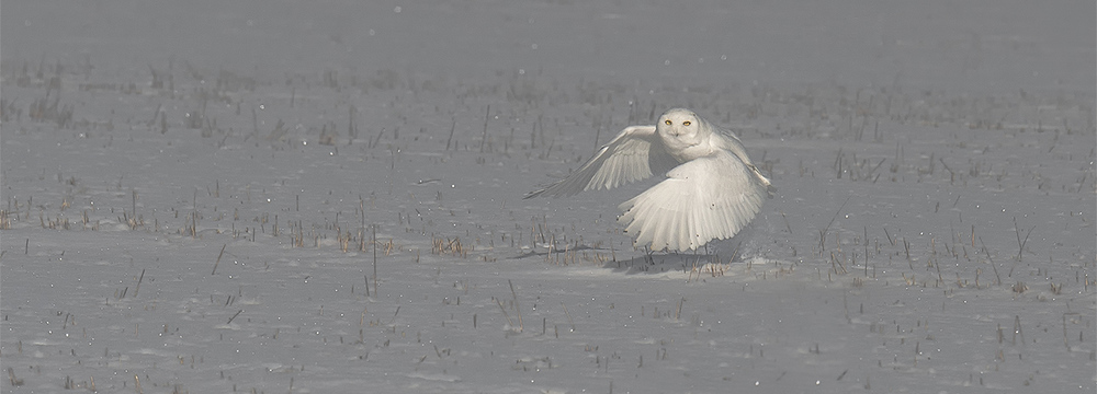 male snowy owl launch 2.jpg