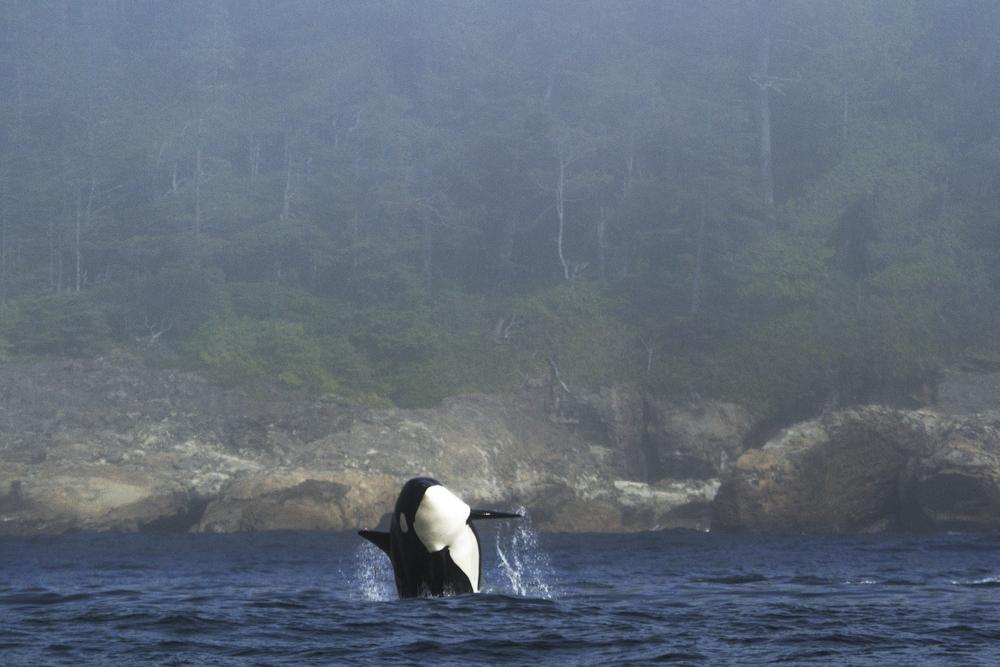 orca-7.jpg