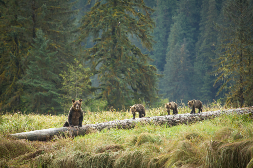 Bears on Log-by Cael Cook.jpg