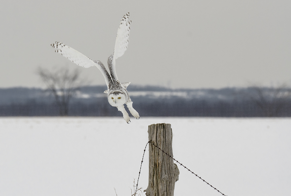 snowy owl launch.jpg